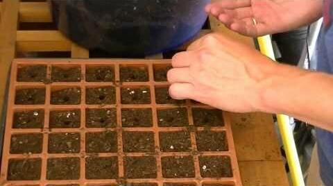 Когда сажать цветную капусту на рассаду