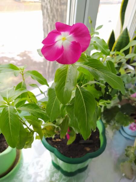 Красивое растение Барвинок - уход в домашних условиях. История знакомства ... с катарантусом.