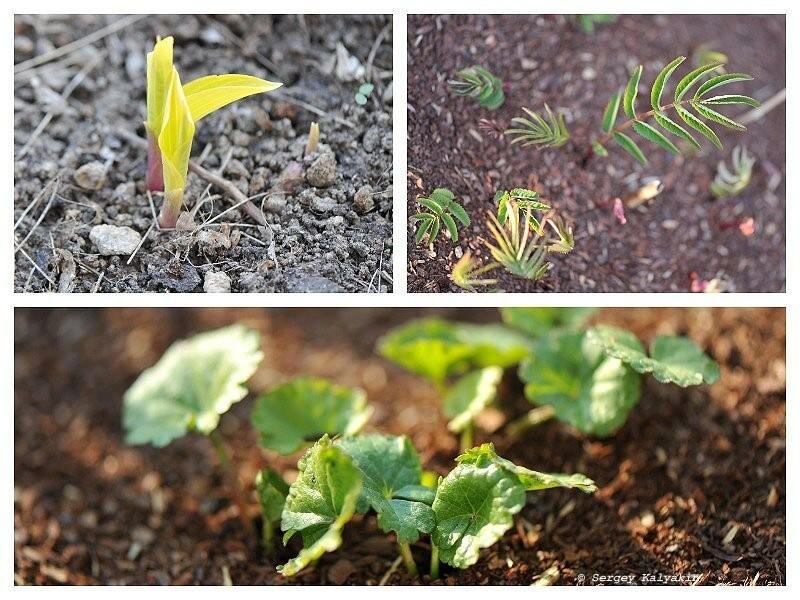 Мой сад в конце марта: тюльпаны, нарциссы и заморозки