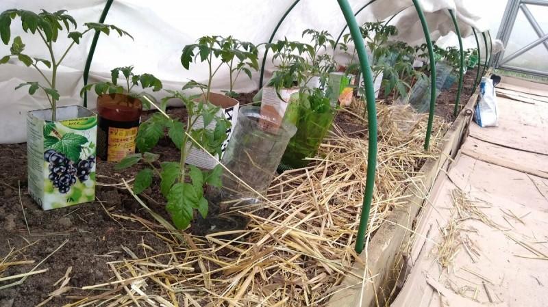 Можно ли выращивать помидоры без пикировки и пересадки?