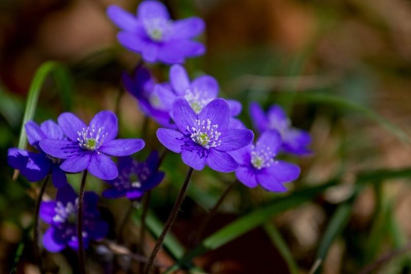 Надоели тюльпаны, примулы и гиацинты? Посадите первоцветы, не как у всех