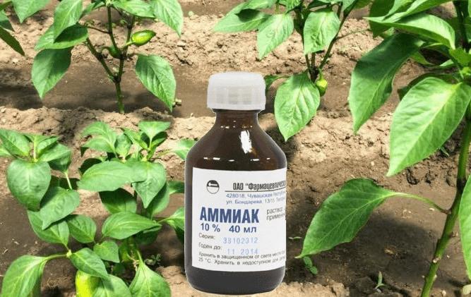Нашатырный спирт для здоровья растений и отличной урожайности