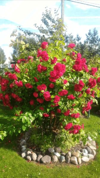 Плетистая роза – 5 шагов, которые обязательно нужно сделать весной и 1 моя маленькая хитрость