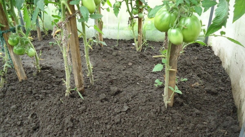 Почему буду сажать 2 куста помидоров в одну лунку