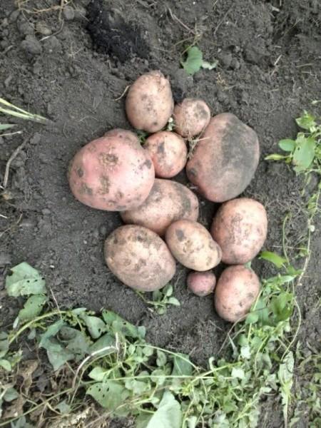 Подготовка картофеля к посадке: как прорастить, чтобы взошел на 5-6 день