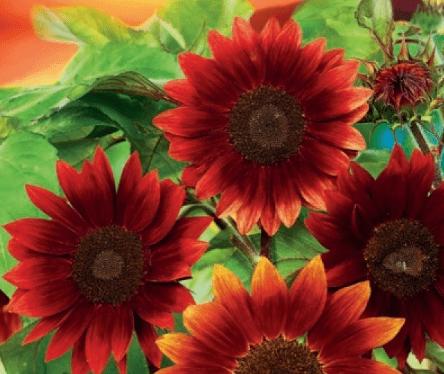 Подсолнухи для красоты: миниатюрные букетные, фокусные гиганты и среднерослые красавцы