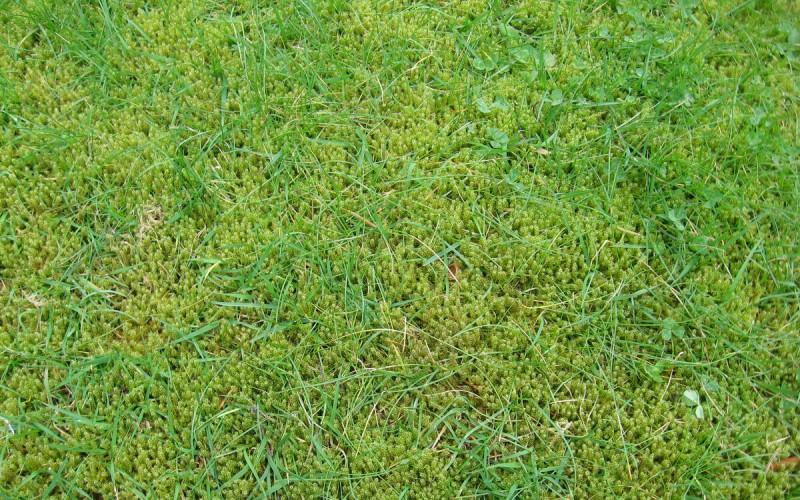 Появление мха на газоне после зимнего сезона