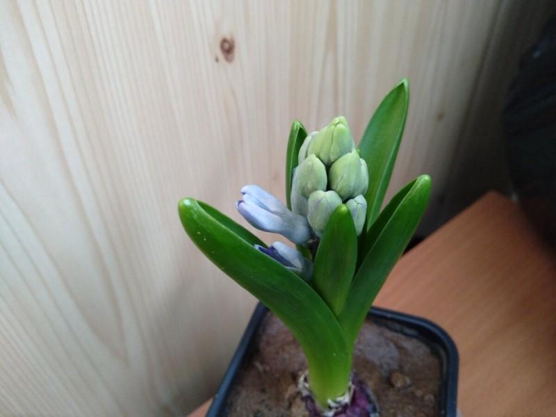 Показываю свои гиацинты и тюльпаны