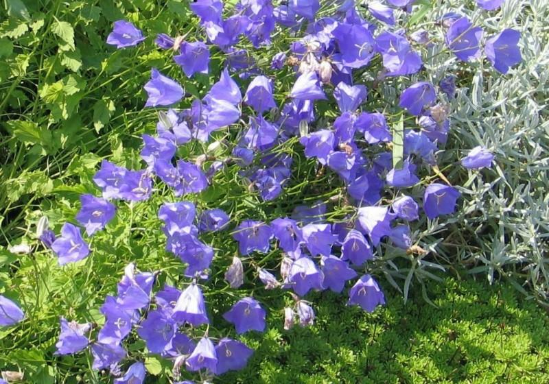 Посадите в саду колокольчики - они напоминают о детстве