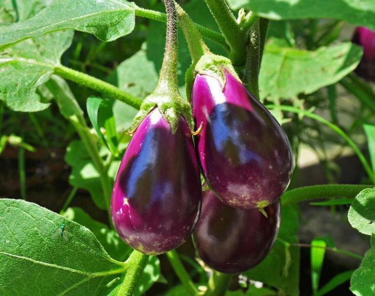 Посадка рассады томата, перца и баклажана в открытый грунт: рекомендации специалиста