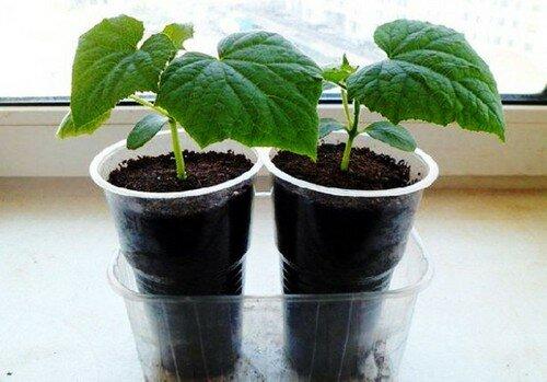 Посеяла 4 огурца для раннего урожая, но в теплицу их высаживать рано. Рассказываю, что буду делать