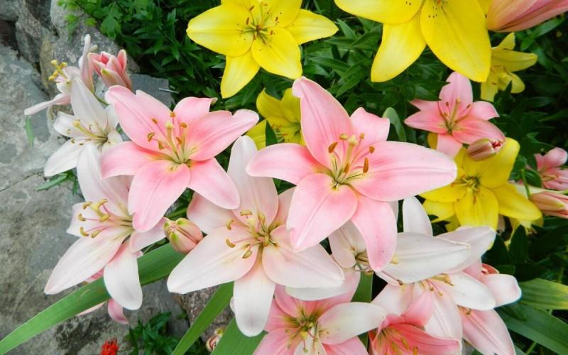 Пошаговая методика Пересадки садовых Лилий, благодаря которой у меня всегда в Саду шикарные Клумбы из этих цветов
