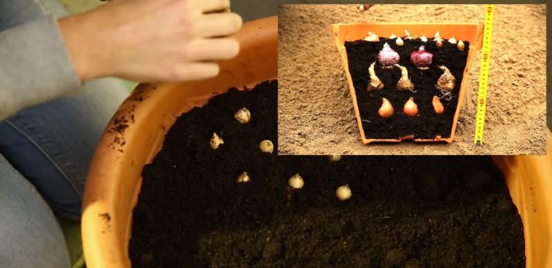 Правила многослойной посадки луковичных в контейнер (фото)