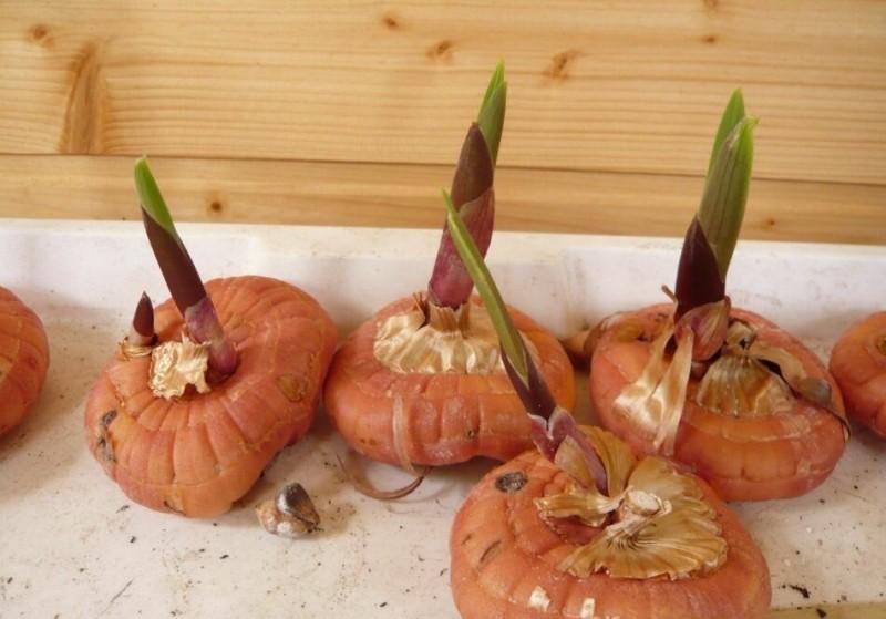 Проращиваем луковицы гладиолусов правильно. А я расскажу поэтапный процесс, чтобы получить замечательные пышные цветы на клумбе