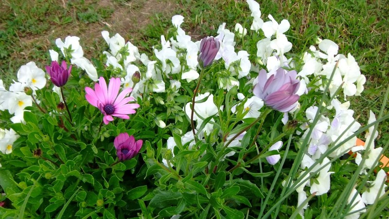 Ромашки-иностранки в нашем саду