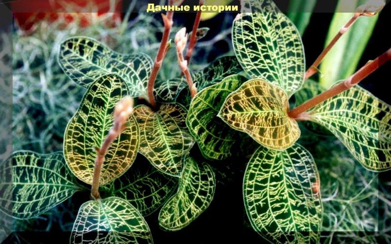 """Самая необычная орхидея - """"Макодес петола"""". Уход в домашних условиях"""
