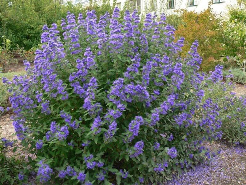 Шикарный многолетник с синими цветками