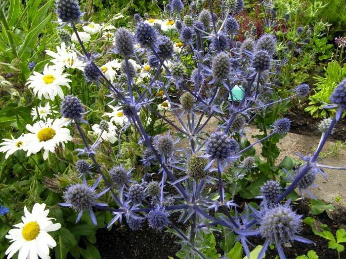 Синеголовник - синие кристаллы в вашем саду