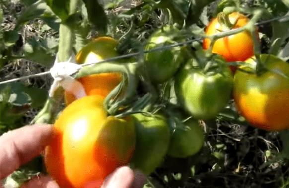 Собралась сеять 20 сортов томатов: сладкие, мясистые, красивые, обильные