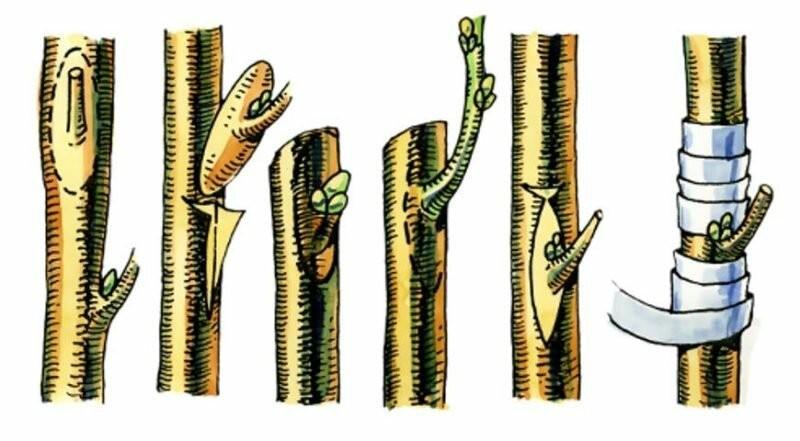Советы агрономов по прививке к яблоне нескольких сортов
