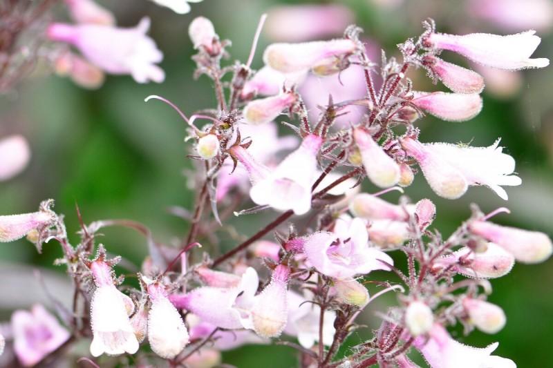 Свадебные колокольчики - цветут и летом, и осенью
