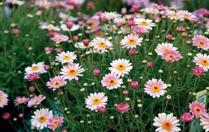 Сверхобильное цветение