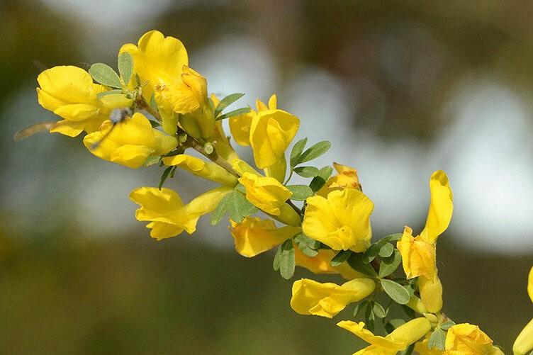 Удивительно неприхотливый цветущий кустарник