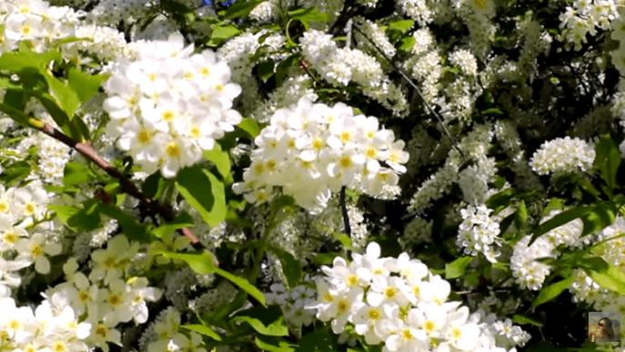 Уход за деревьями и кустарниками весной