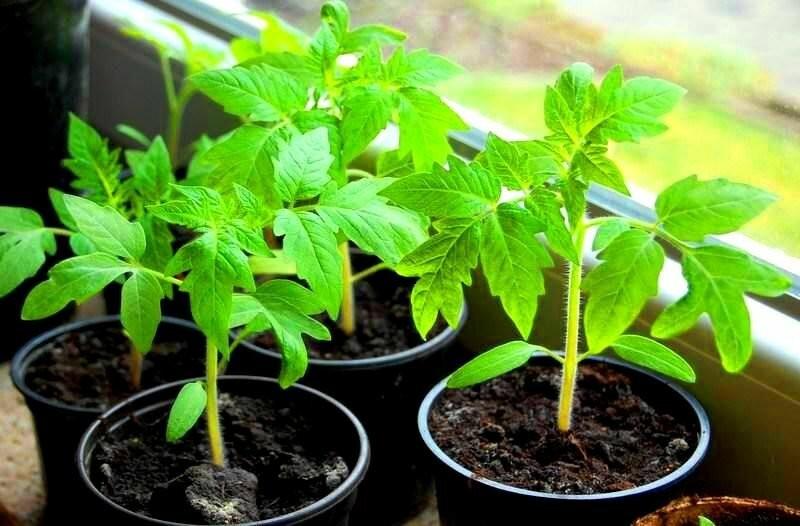 """Уже не один год благополучно выхаживаю семена новым способом, даже """"упрямые"""" прорастают"""