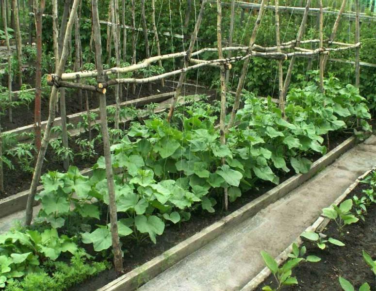 Выращиваете ли вы огурцы на шпалере? Плюсы и минусы