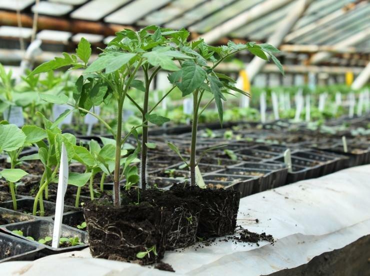 Выращивание рассады томатов без пикировки: рекомендации и полезные советы от Анны Довбыш