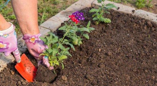 Выращивание вербены из семян: как и когда сажать на рассаду