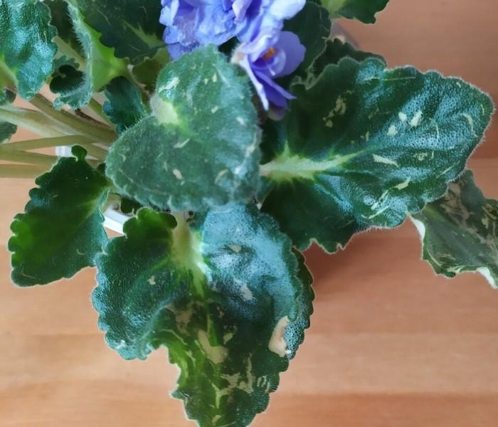 Выращивание здоровой рассады. Лучше предупредить, чем лечить.