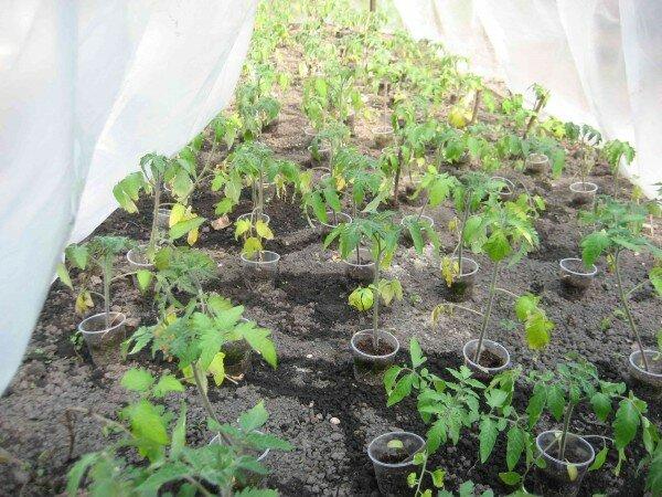 Желтеют листья у рассады помидоров: что делать