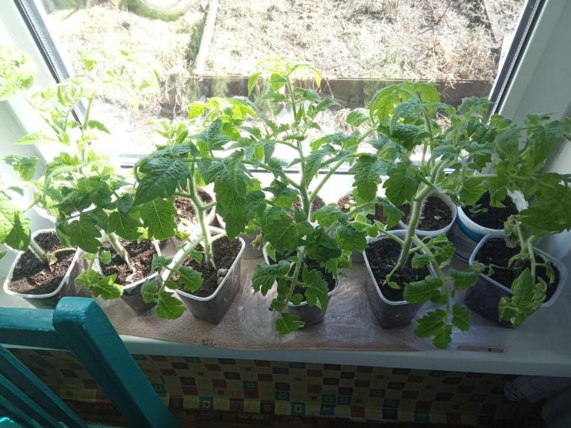 03.04: распикировала оставшиеся помидоры
