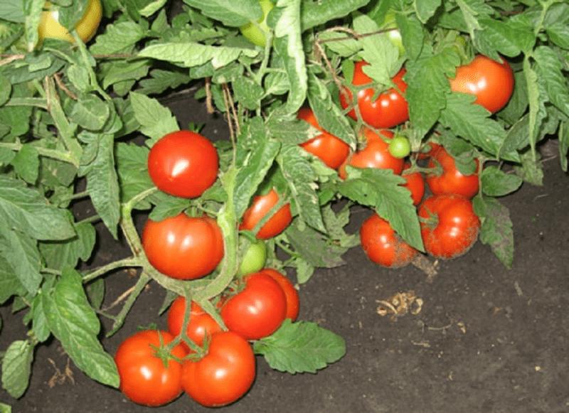 3 сорта томатов. Крупных и вкусных. «Три медведя», «Три сестры», «Три толстяка». Надеюсь что «три» в названии, счастливая цифра.