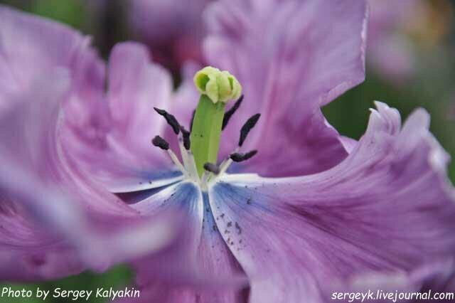 5 статей о тюльпанах