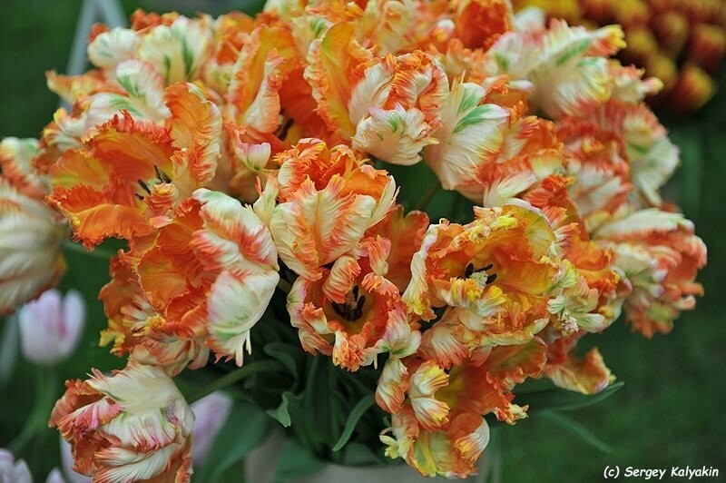 6 статей о необычных тюльпанах
