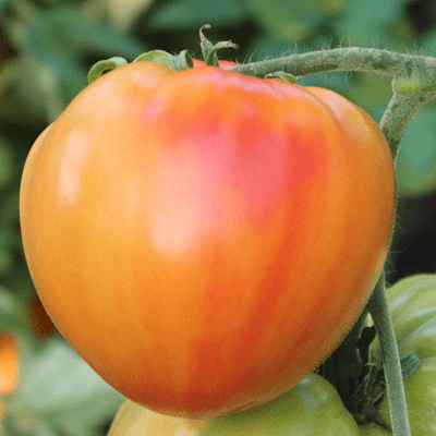 Антоновка медовая, Дыневый мед и Баян. Это всё крупноплодные, сладкие, очень урожайные помидоры, вырастают до 0,5 кг и больше.