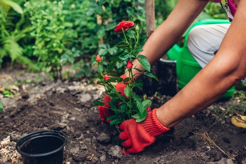 Черенкование роз и другие способы размножения: пошаговая инструкция