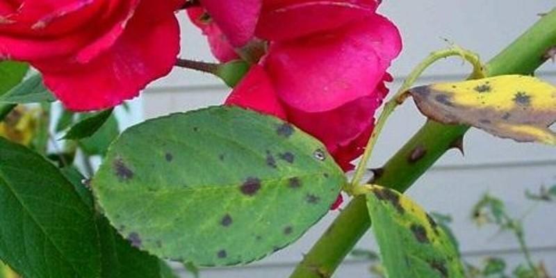 Черные пятна на розах - опасно ли? Чем лечить листочки - 4 проверенных средства