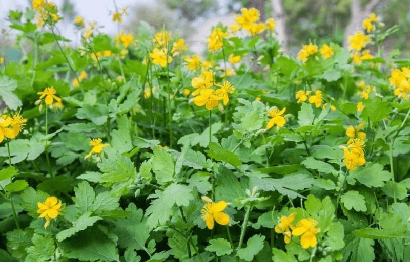 Чистотел для защиты от сорняков и обильной урожайности