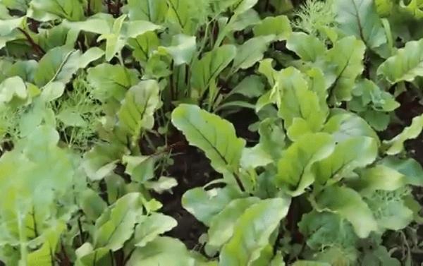 Что можно посадить в тени на огороде