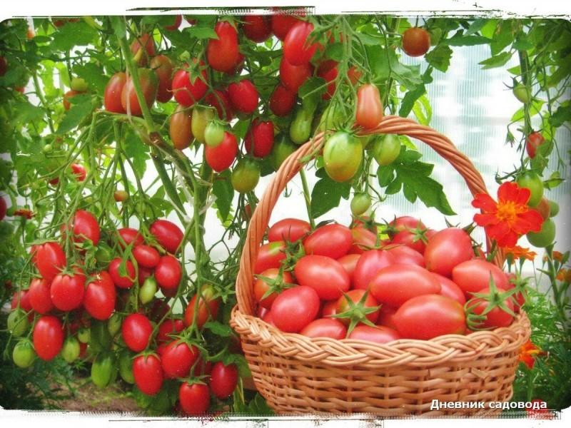 Что посадить рядом с томатом: лучшие соседи - хороший урожай обеспечен