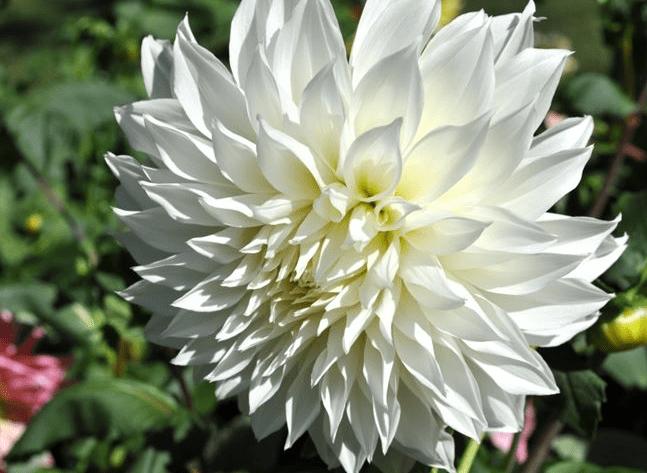 Цветок георгина.