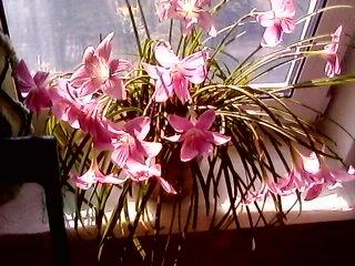 Цветок западного ветра