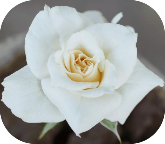 Героини песен и сада: топ-10 сортов удивительных белых роз
