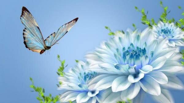 Голубая хризантема - настоящее украшение вашего сада