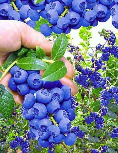 Голубика в своем саду. Секреты выращивания хорошего урожая.