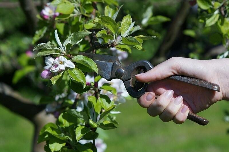Яблоня Орлик – сорт для выращивания на небольших участках